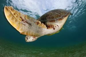 Green Turtle (Chelonia Mydas) Wide Angle View of Fin, Akumal, Caribbean Sea, Mexico, January by Claudio Contreras