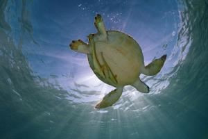 Green Turtle (Chelonia Mydas) with Rays of Sunlight, Akumal, Caribbean Sea, Mexico, January by Claudio Contreras