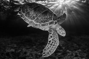 Green turtle with rays of sunlight, black and white image, Akumal, Caribbean Sea, Mexico, July by Claudio Contreras