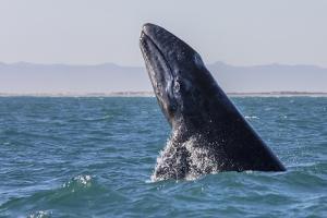 Grey whale breaching, Baja California, Mexico by Claudio Contreras