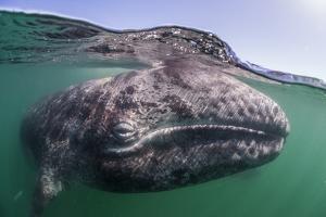 Grey whale calf, Baja California, Mexico by Claudio Contreras