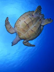 Hawksbill Turtle (Eretmochelys Imbricata) Swimming by Claudio Contreras