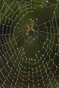 Humpback Orb-Weaver Spider (Eustala Sp. ) on Dew Covered Web, Laredo Borderlands, Texas, USA. April by Claudio Contreras