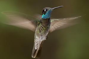 Magnificent Hummingbird (Eugenes Fulgens) Male, Flying, Milpa Alta Forest, Mexico, May by Claudio Contreras Koob