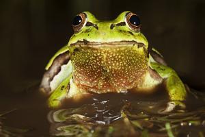 Ridged Tree Frog (Hyla Plicata), Milpa Alta Forest, Mexico, September by Claudio Contreras Koob
