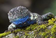 Torquate Lizard (Sceloporus Torquatus) Male, Milpa Alta Forest, Mexico, August-Claudio Contreras Koob-Photographic Print