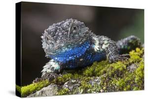 Torquate Lizard (Sceloporus Torquatus) Male, Milpa Alta Forest, Mexico, August by Claudio Contreras Koob