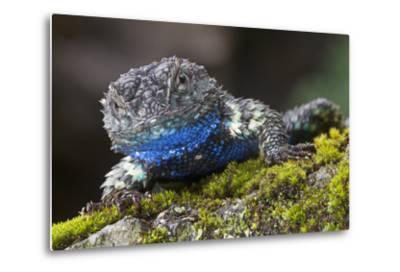 Torquate Lizard (Sceloporus Torquatus) Male, Milpa Alta Forest, Mexico, August