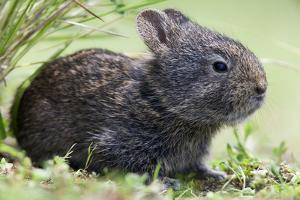 Volcano Rabbit (Romerolagus Diazi) Milpa Alta Forest by Claudio Contreras Koob