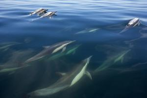 Long-beaked common dolphin, Bahia de los Angeles Biosphere Reserve, Gulf of California, Mexico by Claudio Contreras