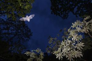 Mustached Bat flying at dusk, Yucatan Peninsula, Mexico by Claudio Contreras