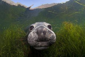 Northern elephant seal approaching camera, Cedros Island, Pacific Ocean, Baja California, Mexico by Claudio Contreras