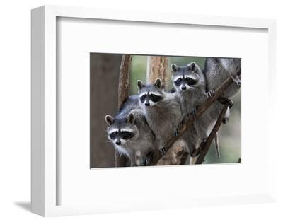 Northern Raccoon (Procyon Lotor), Group Standing On Branch, Captive
