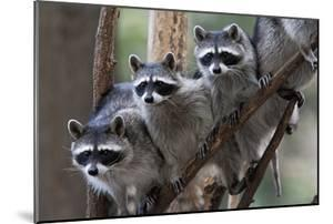 Northern Raccoon (Procyon Lotor), Group Standing On Branch, Captive by Claudio Contreras