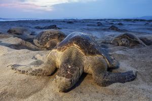 Olive Ridley Sea Turtle nesting, Arribada, Playa Morro Ayuta, Mexico by Claudio Contreras