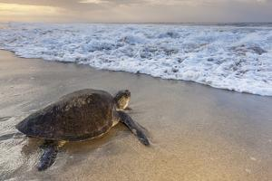 Olive ridley sea turtle returning to sea after laying eggs on the beach, Arribada, southern Mexico by Claudio Contreras