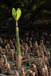 Red Mangrove seedling, Baja California, Mexico by Claudio Contreras
