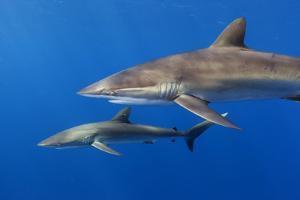 Silky shark, Jardines de la Reina National Park, Caribbean Sea, Cuba by Claudio Contreras