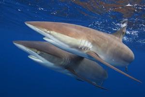 Silky shark two swimming together, Jardines de la Reina National Park, Caribbean Sea, Cuba by Claudio Contreras