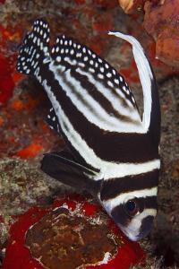 Spotted Drum Fish (Equetus Punctatus) Puerto Morelos National Park, Caribbean Sea, Mexico, February by Claudio Contreras