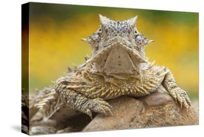 Texas Horned Lizard (Phrynosoma Cornutum) Portrait, Laredo Borderlands, Texas, USA. April