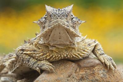 Texas Horned Lizard (Phrynosoma Cornutum) Portrait, Laredo Borderlands, Texas, USA. April by Claudio Contreras