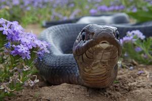 Texas Indigo Snake (Drymarchon Melanurus Erebennus) Close Up Amongst Vervain (Glandularia Sp by Claudio Contreras