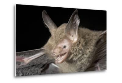 Van Gelder's Bat (Bauerus Dubiaquercus) Portrait