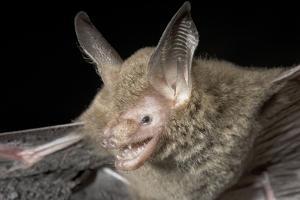 Van Gelder's Bat (Bauerus Dubiaquercus) Portrait by Claudio Contreras