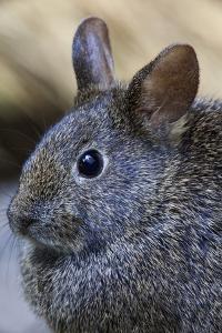 Volcano Rabbit (Romerolagus Diazi) Mexico City, September. Captive, Critically Endangered Species by Claudio Contreras