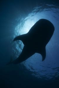 Whale Shark (Rhincodon Typus) Backlit, Isla Mujeres, Caribbean Sea, Mexico, August by Claudio Contreras