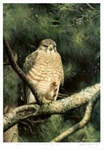 Broad Winged Hawk by Claudio D'Angelo