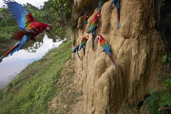Clay Cliffs Form a Natural Salt Lick That Attracts Red-And-Green Macaws-Charlie James-Photographic Print