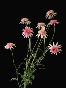 Argyranthemums in Bloom by Clay Perry