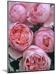 Brother Cadfael Roses by Clay Perry