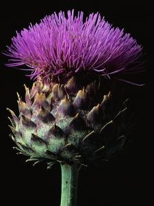 Cardoon by Clay Perry