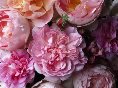 Cottage Rose and Sceptered Isle Roses