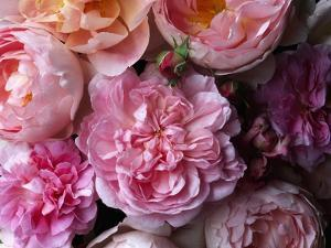 Cottage Rose and Sceptered Isle Roses by Clay Perry