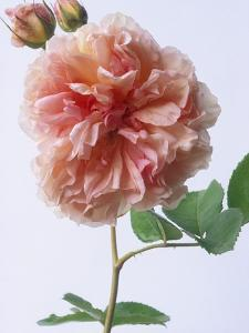 English Elegance Rose by Clay Perry