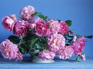 Grussan Achen Felicia and Centenaire de Lourdes Roses by Clay Perry