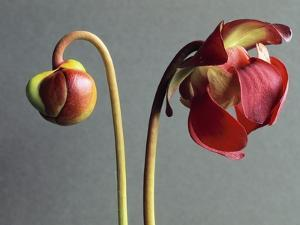 Sarracenia by Clay Perry