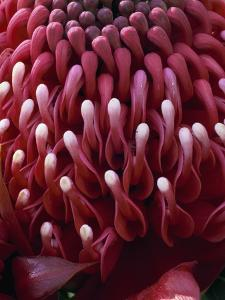 Waratah Flower by Clay Perry