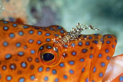 Cleaner Shrimp Cleaning Grouper--Photographic Print
