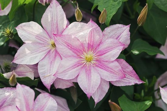 Clematis 'Carloline'-Dr. Keith Wheeler-Photographic Print