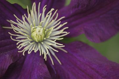 Clematis Flower Detail-Anna Miller-Photographic Print