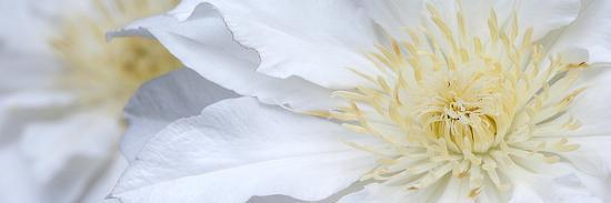 Clematis Flowers Marie Boisselot-Ian Dobbs-Photographic Print