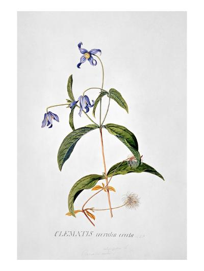 Clematis: Integrafolia-Georg Dionysius Ehret-Giclee Print