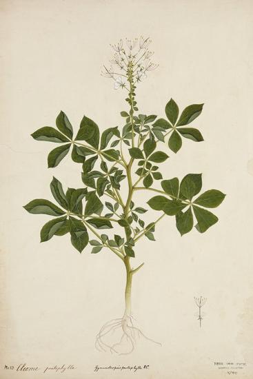Cleome Pontaphylla, 1800-10--Giclee Print