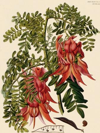 https://imgc.artprintimages.com/img/print/clianthus-puniceus_u-l-q1bvmqt0.jpg?p=0