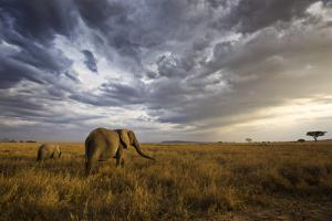 An African Elephant at Sunset in the Serengeti National Park, Tanzania, Africa. by ClickAlps